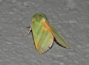 Pseudoips prasinana (Buchen-Kahneule)