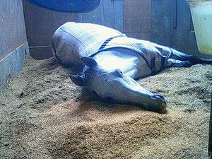 安心リラックスしている馬