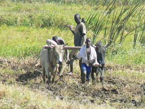 Labour d'une rizière