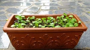 ご利用者様に頂いた小松菜が発芽しました。