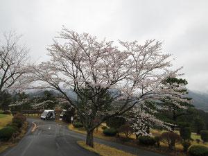 足利カントリークラブ多幸コースの桜