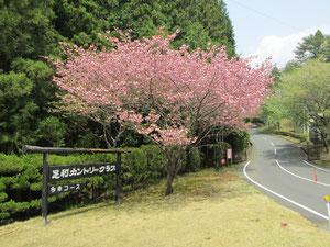 足利カントリークラブの八重桜画像