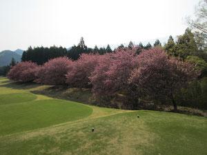 足利カントリークラブの満開の八重桜
