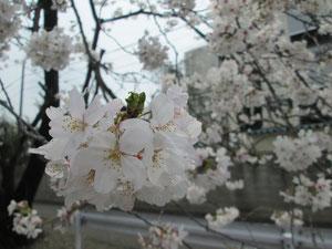 足利市の桜