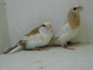 Isabelitas del japón ensillado y rojo pastel alas claras machos