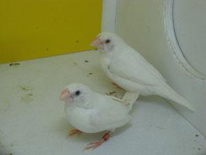 Isabelitas del japón albinas