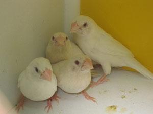 Isabelitas del japón en grupo macho blanco y hembra albinas