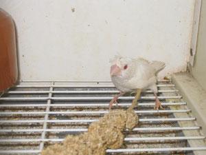 Isabelitas del japón albina monuda