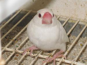 gorrion de java mutación en blanco