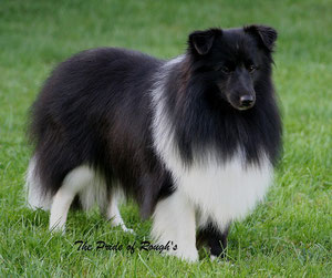 Sire of the puppies: J.CH. Piro the Pride of Rough's