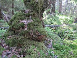 Mossornas skog