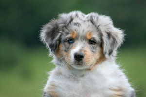 "BOCELLI from the eyes of heartbreakers Rüde, blue merle, 337gr., er wird neu ""Fynn"" gerufen."