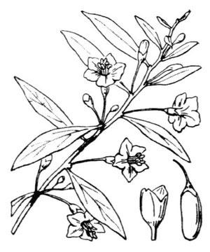 Piante di lycium barbarum produzione for Coltivazione goji in vaso