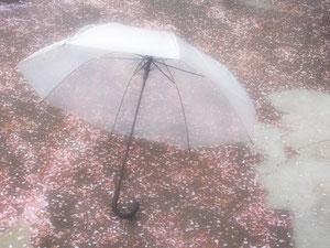 たまたま道に傘が。 淡いピンクの花色が引き立ってとてもきれいでした。花吹雪の雨用?なんてすてきですね。