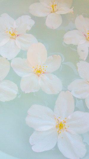 桜の花びらを拾って、青磁の陶器に水を張って浮かべました。