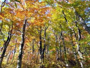 標高1,300mくらいのブナ林、紅葉真っ盛り