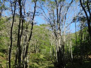 比良岳の森