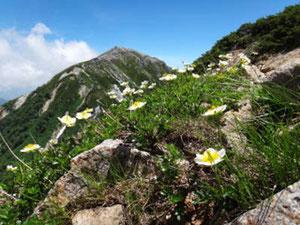 針ノ木からの下山途中で蓮華岳とチングルマ