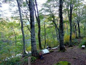 刈込池湖畔のブナ林にたたずむ