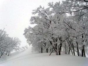 山頂直下、雪化粧のブナ林