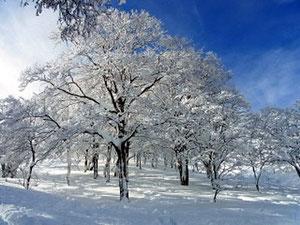 大日谷の木々、雪をまとい、とってもきれいです