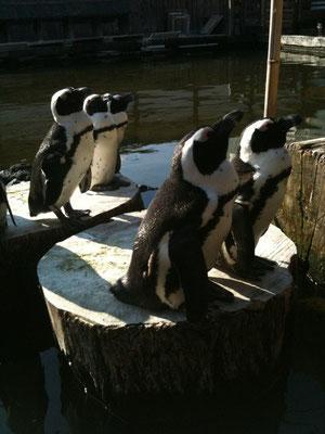 ペンギンの群れ。