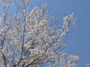 長良川競技場の桜・・・