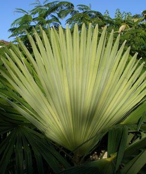 Palmblatt im Herbstlicht