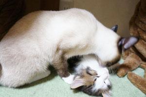 子猫好きのチャムお姉ちゃんここでもペロペロ...