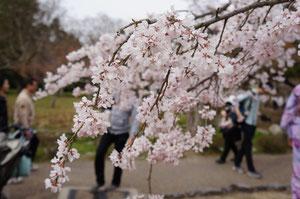 桜を見てると心が和みます