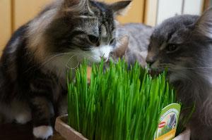 猫草もちゃんと食べます♪