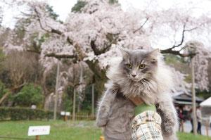 我が家のしだれ猫桜で~す♪