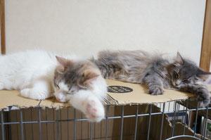ヴィヴィとルチア♪就寝中です♪