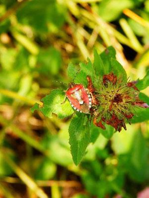 ブチビゲカメムシ