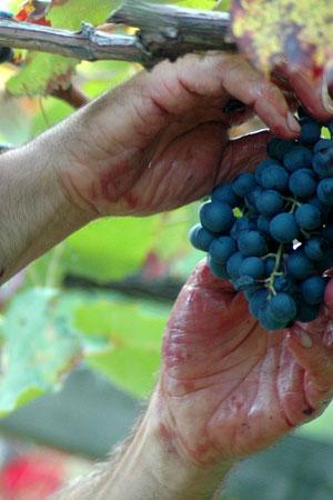 Klebrige Hände sind ein gutes Zeichen: Die Trauben haben dann sehr gute Qualität und viel Zucker eingelagert.