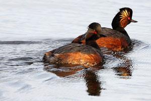 Grèbes à cou noir en plumage nuptial