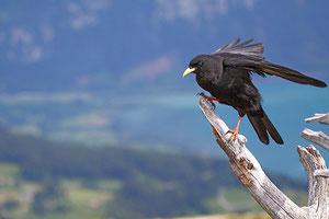 Chocard à bec jaune, commun dans les Alpes