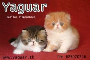 www.yaguarcats.com