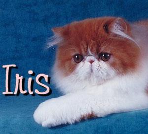 iris persas
