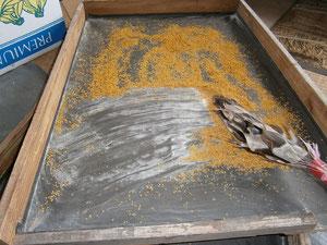 乾燥した葯から花粉がこぼれ落ちる