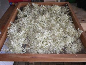 Holunderblüten vor dem Trocknen