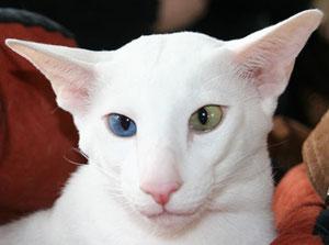 Auf dem Foto sieht man keine Foreign White Katze, sondern eine OKH weiß, odd-eyed, Bildquelle: www.cat-world.com.au