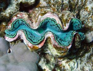 bénitier (mer Rouge Egypte)