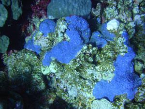 éponge encroutante (mer Rouge Egypte)