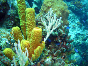 Eponge tubulaire jaune Aplysina fistularis(Cuba)