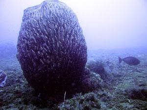 éponge barrique Xestospongia testudinaria (Ordre des Haplosclerida)