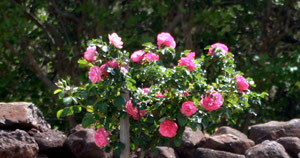 Pink standard rose and dry stone wall