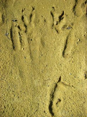 Kangaroo tracks.