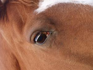 Gestation, poulinage, pension poneys chevaux ane aisne 02, seine et marne 77, Marne 51, pension chevaux randonnées, pension chevaux balades, pension chevaux retraite, pension chevaux 77 pension