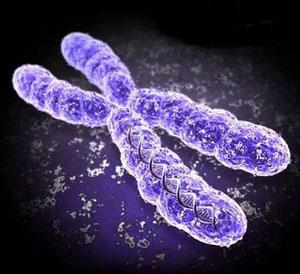 Chromosom des Menschen
